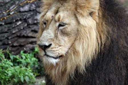 African Lion Portrait photo