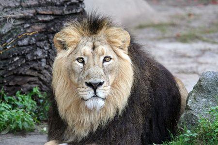 Portrait of a proud and noble male lion photo