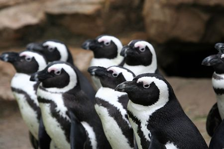 Group of inquisitive Penguins all looking in same direction photo