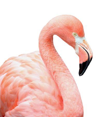 Close up of pink flamingo bird isolated on white photo