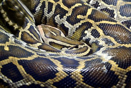 serpent: Close up of Boa Constrictor snake.