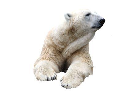 Single Polar Bear isolated on white background.