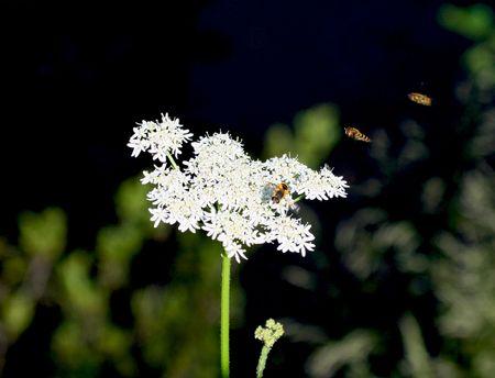 miel et abeilles: Macro vue des abeilles pollinisatrices de fleurs blanches, la nature verte de fond. Banque d'images