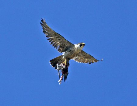falconidae: Aerial view of Peregrine Falcon bird holding prey in talons, blue sky background.