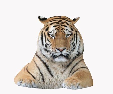 Single Tiger isolated on white background. photo