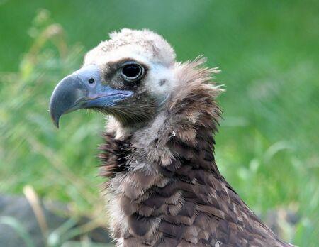 weerzinwekkend: Portret van gier vogel buitenshuis met groene natuur achtergrond.  Stockfoto