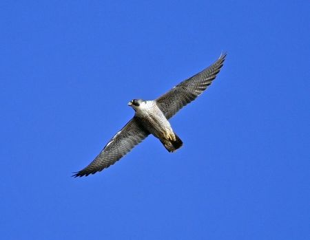 Peregrine Falcon bird in flight with blue sky background.