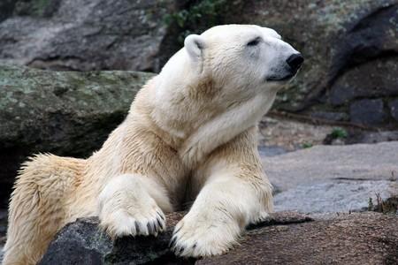Portrait of white Polar bear on rock outdoors. photo