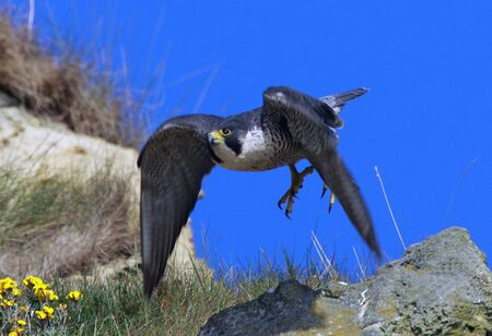 falco peregrinus: Peregrine Falcon bird in flight on cliff top with blue sky background. Focus on face.