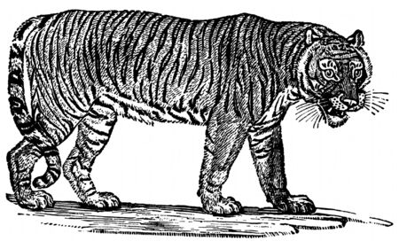 engravings: Black and white engraving of Tiger isolated on white background, Artist was Thomas Bewick (1753-1828), source book, Wood Engravings by Thomas Bewick, published in 1947 by John Raynor. Public domain image by virtue of age.