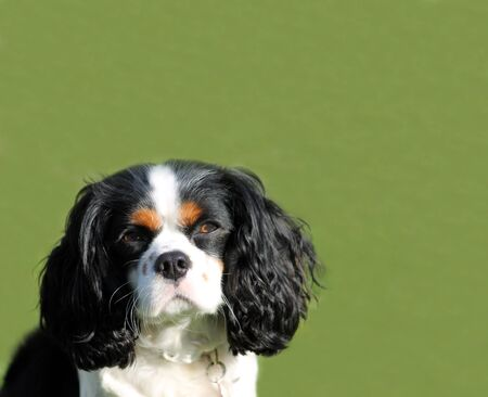 tri color: Portrait of cute King Charles Spaniel dog with green grass background and copy space.