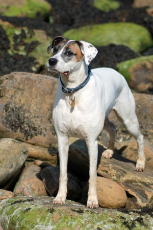 dog rock: Cute dog stood on rocks with collar and name tag. Stock Photo