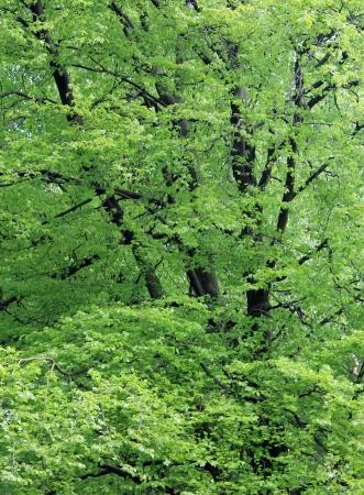 arboles frondosos: Antecedentes de frondosos árboles verdes en madera o bosque.