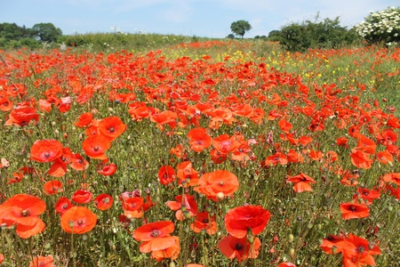 recedes: Field of bright red poppy flowers receding into distance.