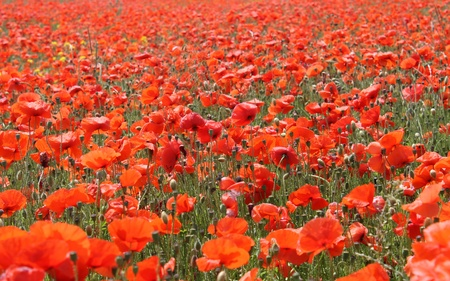 recedes: Blooming red poppies in field, summer scene.