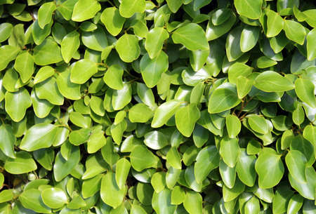 leafy: Fresh leafy green background in summer. Stock Photo