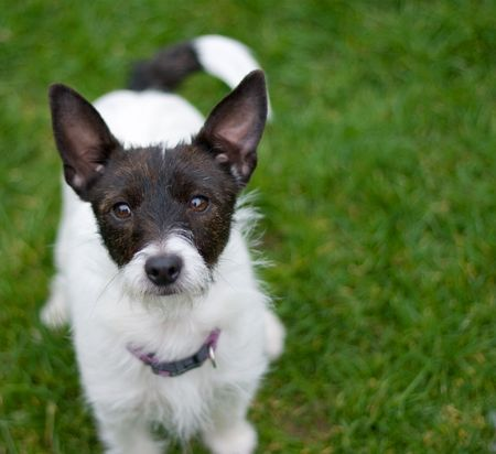 outdoor portrait of a jack russell terrier
