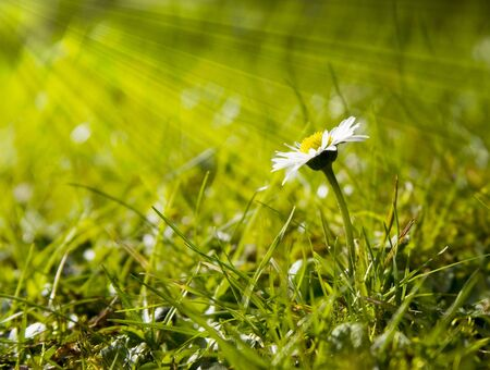 Single white daisy growing in the grass