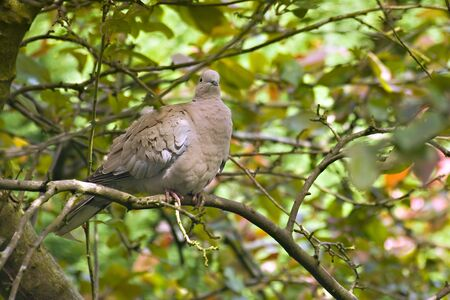 Close up of a Wood Pigeon in natural surroundings