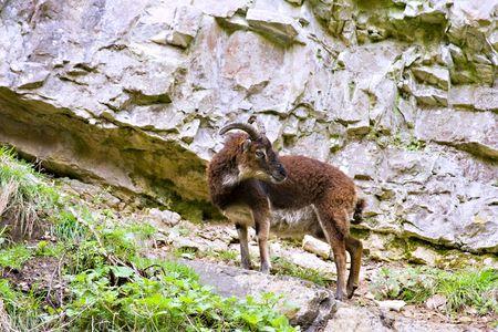 Wild British Primitive Goat in Cheddar Gorge Somerset England Stock Photo