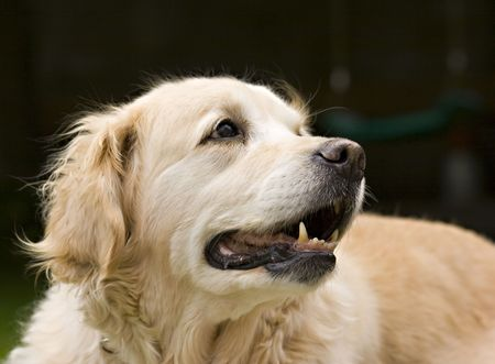Close up portrait of a cute Golden Retriver