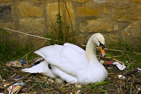 tending: Female swan tending eggs in her nest Stock Photo