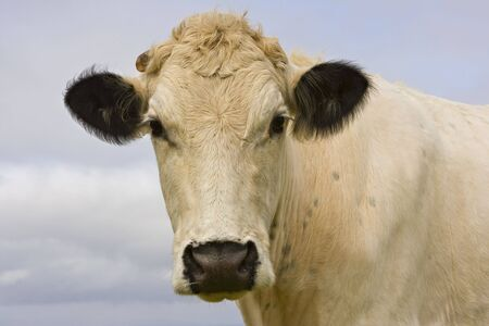 Close up portrait of a domestic British White cow Stock Photo