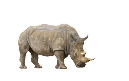 An isolated portrait of an adult rhinoceros photo
