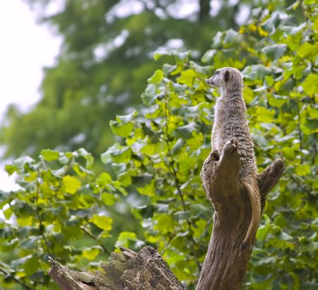 sentry: A meercat sitting in a tree on guard