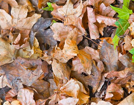Fallen autumn leaves lying on the ground photo
