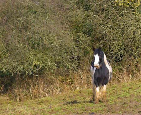 skewbald: A single skewbald pony alone in a field