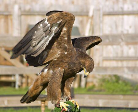 A captive eagle flexing its wings