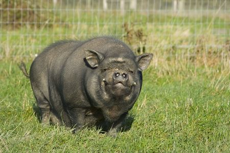 fat pigs: A Vietnamese pot bellied pig smilimg at the camera Stock Photo