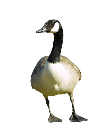 Canadian Goose isolated on white