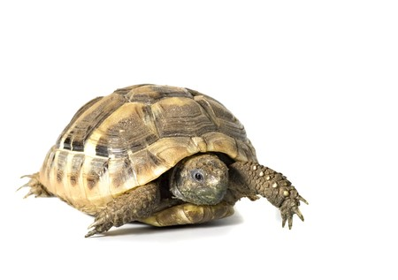 Herman tortoise with white background photo