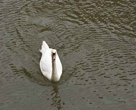 single white swan swimming in the river Stock Photo - 7326757