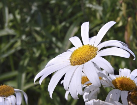 Close up of an ox eye daisy Stock Photo - 7644508