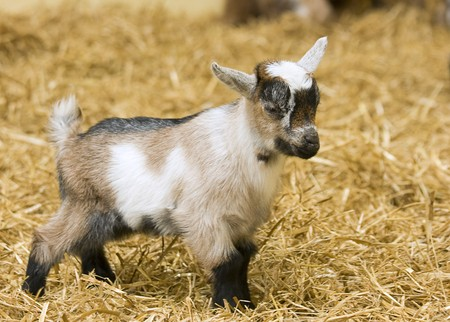 A baby goat standing on staw bedding in an indoor animal pen Stock Photo