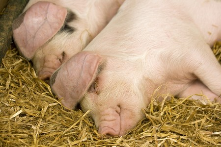 Two pigs sleeping in a straw filled enclosure Stock Photo - 7644565