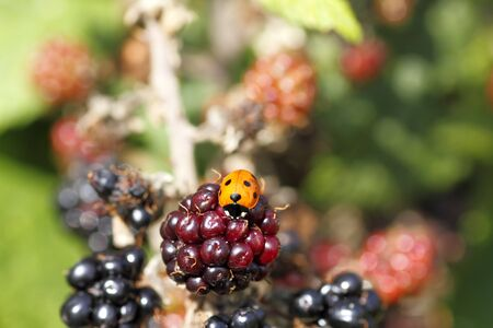 Single wild ladybird on a raspberry bush in the autumn sunshine Stock Photo