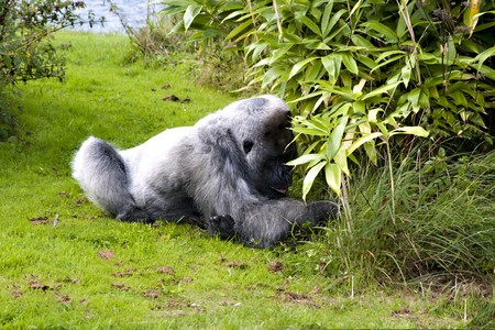 Large male silver back gorilla searching the undergrowth