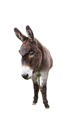 Domestic donkey isolated on white