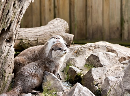 Two captive otters playing on some rocks