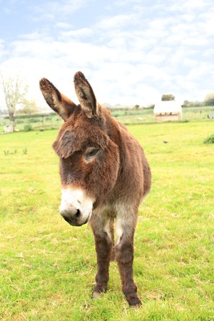 Domestic donkey standing in a field photo