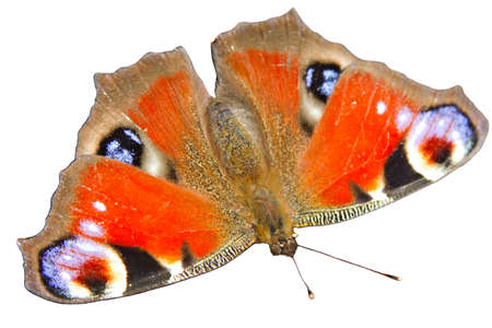 A Peacock Butterfly showing its distinctive eyespots