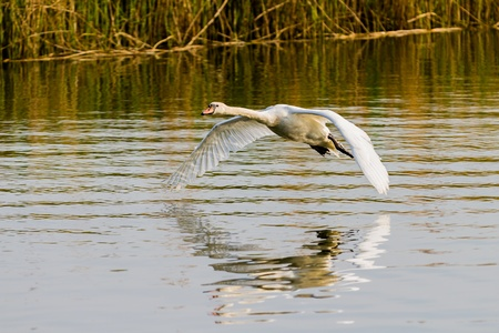One swan flying over the river