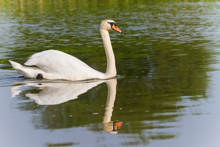 One swan swimming on a river