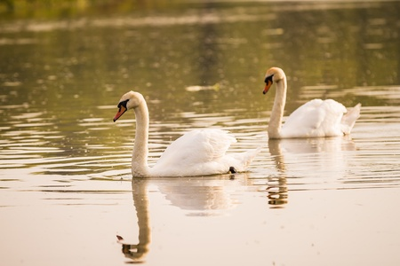 Two swans swimming on a river