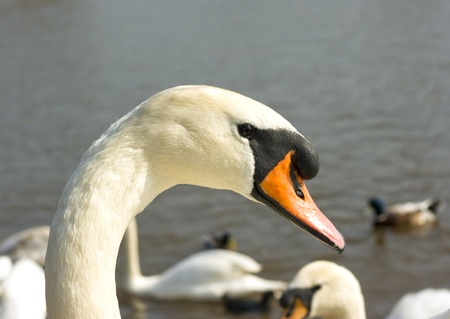 Close up portrait of a swan by a lake Standard-Bild