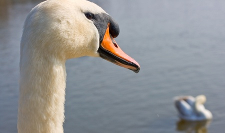 Close up portrait of a swan by a lake Stock Photo